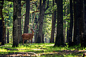 a red deer at daybreak, espace rambouillet, forest of rambouillet, yvelines (78), ile-de-france, france