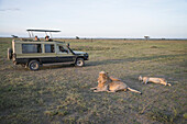 Tourists photograph resting lions from their vehicle on Serengeti Plains Tanzania