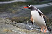 Gentoo Penguin Pygoscelis papua leaving water at Almirante Brown Antarctic Base, Antarctic Peninsula, Antarctica