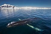 Humpback whale Megaptera novaeangliae in Gerlache Strait, Antarctic Peninsula, Antarctica