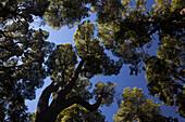Grove of rare arrayan trees Chilean myrtle trees, Luma apiculata in Los Arrayanes National Park, Rio Negro, Argentina