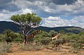 Pair of Angolan Giraffes, Giraffa camelopardalis angolensis, Namibia