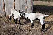 Full length of playful goat kids on field