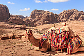 Portrait of seated camel with colourful rugs, view to City of Petra ruins, Petra, UNESCO World Heritage Site, Jordan, Middle East