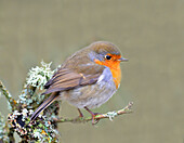 Robin Erithacus rubecula, Lake District, Cumbria, England, United Kingdom, Europe