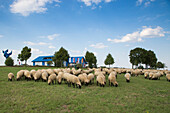 Flock of sheep on meadow with House on the Border Museum at Point Alpha Memorial behind