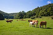 Happy cows on meadow (they belong to Martin Schiebelhut organic farm)