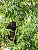 Howler Monkey calling for a mate