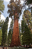 Giant sequoia tree, Sequoia and Kings Canyon National Parks, California, USA