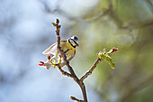 Blue tit (Cyanistes caeruleus) perched on branch