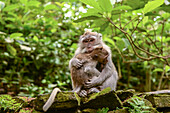 Monkey Cynomolgus monkey Macaca fascicularis mother with child in city temples of Ubud, Bali, Indonesia
