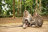 Monkey family Cynomolgus monkey Macaca fascicularis with child, during grooming in the city temples of Ubud, Bali, Indonesia