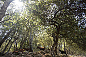 Goats are walking through and oak tree forest near Lluc in the north of Mallorca, Balearic Islands, Spain