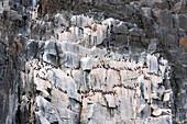 Thick-billed murre or Brünnich's guillemot on the bird cliff of Alkefjellet, Spitsbergen, Svalbard, Norway