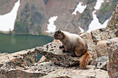 Portrait of a Marmot (Marmota) in its natural habitat in Cathedral Lakes Provincial Park, British Columbia, Canada.