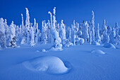 Snowy forest and strong frozen trees in blue dawn in winter, Riisitunturi National Park, Kuusamo, Lapland, Finland, Scandinavia