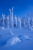 Panoramic view with snowy forest and strong frozen trees in blue dawn in winter, Riisitunturi National Park, Kuusamo, Lapland, Finland, Scandinavia