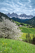 Funes Valley, Dolomites, South Tyrol, Italy. Spring in Santa Maddalena and the peaks of Odle in the background