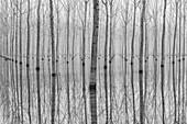 Caselle Landi, Lombardy, Italy. Po flood into a poplar woodland.
