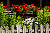 With marguerites and geraniums excessively planted front garden in front of alpine hut with a weather-beaten wooden fence, Radein, South Tirol, Alto Adige, Italy