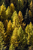 A larch wood in autumn with coloured   leaves at the Umbrailpass, Santa Maria im Münsterland, the Grisons, Switzerland