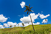 A group of palm trees in a slope with blue sky and white clouds, Chamarel, Mauritius, Africa