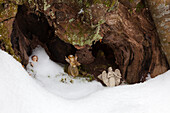 Figures of angels covered by snow within the hollow trunk of a beech tree, near Maria Rast chapel at the Buckelwiesen, near Kruen, Bavaria, Germany
