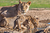 Lioness with cubs (Panthera leo) at water, Kgalagadi Transfrontier Park, Northern Cape, South Africa, Africa
