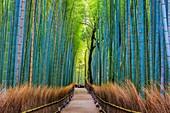 Japan, Kyoto City, Arashiyama Bambu Grove.