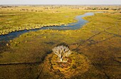 The Gomoti River with its adjoining freshwater marshland, the whitish tree has died back due to the permanently wet environment, aerial view, Okavango Delta, Moremi Game Reserve, Botswana.