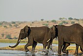 African Elephant (Loxodonta africana) - Females that just have been crossing the Chobe River rush back into the water to welcome a juvenile straggler. Photographed from a boat. Chobe National Park, Botswana.