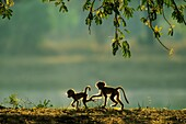 Yellow Baboon (Papio cynocephalus) - Two playful young in the early morning. South Luangwa National Park, Zambia.