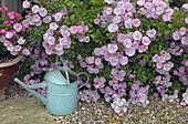 UK, June, Pink Climbing roses and Pink Geraniums