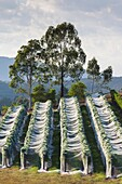 Australia, Victoria, VIC, Yarra Valley, vineyard vines under mesh fabric.