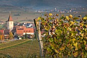 Germany, Baden-Wurttemburg, Burkheim, Kaiserstuhl Area, vineyards elevated village view.