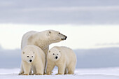 United States , Alaska , Arctic National Wildlife Refuge , Kaktovik , Polar Bear( Ursus maritimus ) , female adult with 2 cubs from the year , along a barrier island outside Kaktovik, Alaska. Every fall, polar bears (Ursus maritimus) gather near Kaktovik