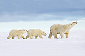 United States,Alaska,Arctic National Wildlife Refuge,Kaktovik,Polar Bear( Ursus maritimus ),female adult with 2 cubs from the year,along a barrier island outside Kaktovik,Alaska,Every fall,polar bears (Ursus maritimus) gather near Kaktovik on the northern