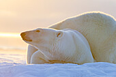 United States,Alaska,Arctic National Wildlife Refuge,Kaktovik,Polar Bear( Ursus maritimus),mother with one cub from the year along a barrier island outside Kaktovik,Alaska,Every fall,polar bears (Ursus maritimus) gather near Kaktovik on the northern edge