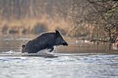 France,Alsace,Rhine forest,Wild Boar (Sus scrofa),swim across an arm of water.