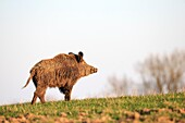 France, Haute Saone, Private park, Wild Boar Sus scrofa, male.