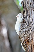 United States, Minnesota, Eastern gray squirrel or grey squirrel Sciurus carolinensis, albino adult on a tree.