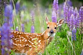 United States, Minnesota, White tailed Deer Odocoileus virginianus, baby, in a meadow with lupins.