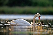 Europe, France, Ain, Dombes, Mute swan Cygnus olor, adult with a young.