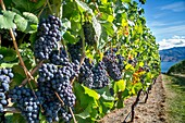 Canada, BC, Okanagan Valley. Fresh ripe red grapes on the vine ready for harvesting at the end of summer. The Okanagan is one of Canada´s top wine producing regions
