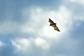 Straw-coloured fruit bat (Eidolon helvum), Bat migration, Kasanka National Park, Serenje, Zambia, Africa.