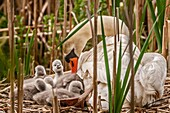 'Mute Swan (Cygnus olor); also known as; White Swan; and young cygnets. The mute swan (Cygnus olor) is a species of swan, and thus a member of the waterfowl family Anatidae. It is native to much of Europe and Asia, and (as a rare winter visitor) the far n