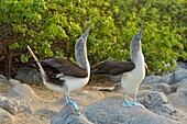Blue-footed Booby (Sula nebouxii) Courtship ritual, courting, Galapagos Islands National Park, San Cristobal, Lobos Island, Ecuador.