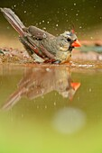 Northern Cardinal (Cardinalis cardinalis) Female Bathing at the waterhole, Rio Grande City, Texas, USA.