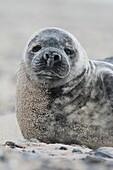 Grey seal, Helgoland-Duene, Germany.