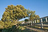 Green Oak tree (Quercus ilex), Spain.